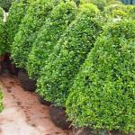 Buxus sempervirens kegel