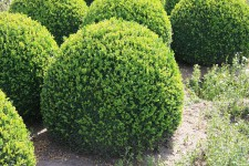 Buxus sempervirens bol